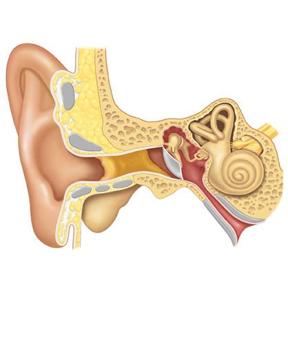 Interior del oído